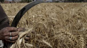 An Egyptian farmer harvests wheat in Qalubiyah, north of Cairo on 13 May 2013