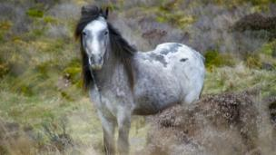 Wild Welsh Stallion