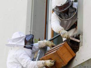 City of Bern firefighters collect a colony of honeybees
