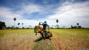 A farmer carries rice seedlings