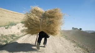A boy carries a bundle of wheat in Afghanistan