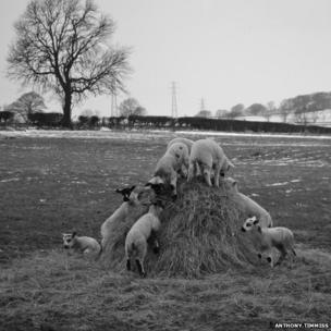 Lambs on a hay stack