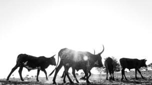 Livestock in Opuwa, Kunene region, Namibia