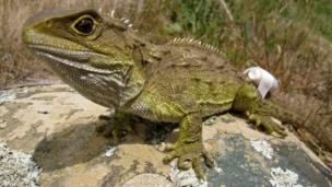 Female tuatara being tracked to and from her nesting rookery with a spool of cotton attached to her tail