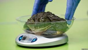 An African bullfrog sits on a set of scales