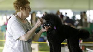 Dog being groomed for dog show