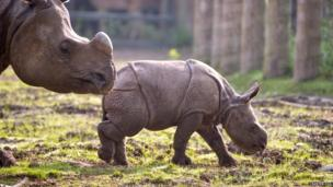 Komala, a new Indian rhino calf, with her mum Asha, at Chester Zoo.