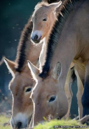 A Przewalski foal