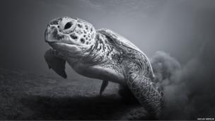 A black and white photo of a turtle in the Red Sea