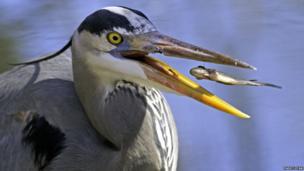 Heron catching a minnow