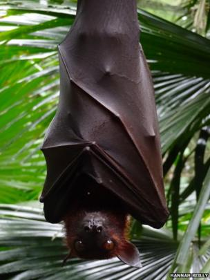 Flying Fox at Singapore Zoo
