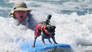 A dog catches a wave at the 5th Annual Surf Dog competition in California.