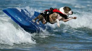 A dog wipes out while competing in the Surf City surf dog competition in Huntington Beach, California