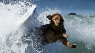 Dog falls of surf board