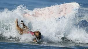 Dog falls off surf board