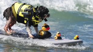A dog surfing... with FBI dressed rubber ducks!