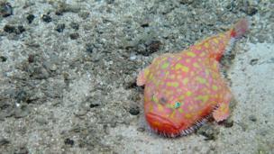 Sea toad