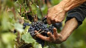 A grape picker harvests fruit from the vines at the Billecart-Salmon vineyard in Verzenay, eastern France