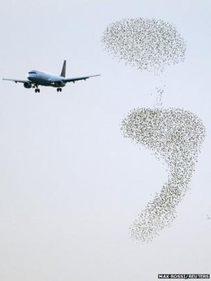 A aeroplane approaches to land as starlings fly
