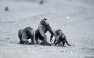 Celebes crested macaques