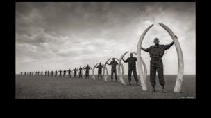 Line of rangers with tusks of killed elephants, Amboseli 2011