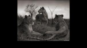 Lion circle, Serengeti 2012