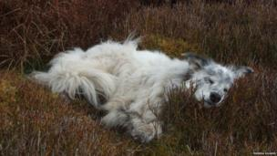 Dog resting in heather