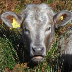 Paul Roberts from Llanberis, Gwynedd sent in this photo and said this beautiful cow was photographed on the hills near his home by him.