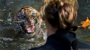 A three-month-old Sumatran tiger cub named Bandar shows his displeasure after being dunked in the tiger exhibit moat
