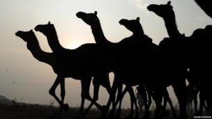 Camels silhouetted