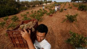Workers carry crates filled with grapes on their shoulder at a vineyard in the city of Keratea, east of Athens