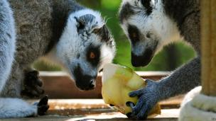 Lemurs eating an ice lolly with apples in at Twycross Zoo