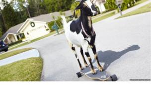 A skateboarding goat