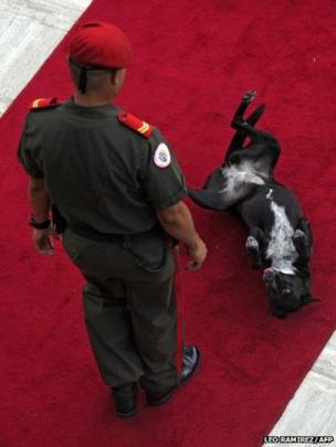 A dog stretches on the red carpet