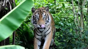 Mulan the Bengal tiger