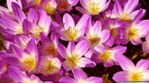 A bunch of bright pink colchicums