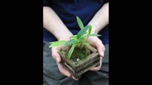 Christopjer Ryan holds a Epidendrum montserratense orchid plant
