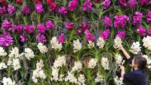 A cascade of Vanda orchids