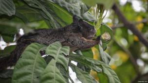 Guayaquil squirrel