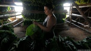 A woman separates tobacco leaves in a curing barn at a farm in Cuba's western province of Pinar del Rio