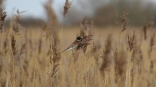Still in the Newport Wetlands, Rhiannon Clegg took this interesting shot of a male reed bunting balancing on a reed