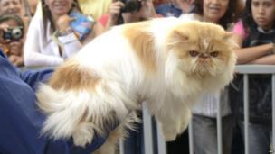 A Himalayan cat