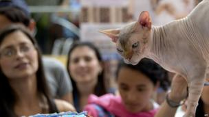 People look at a Sphynx cat