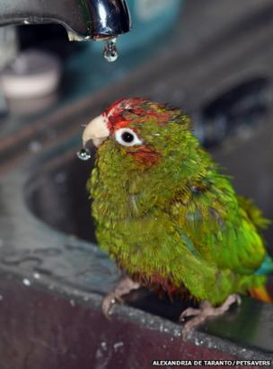 A green bird with a red forehead sat under a dripping tap