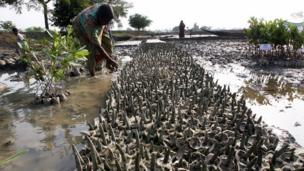 Indian man nurtures mangroves