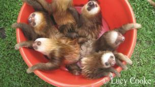 Lots of sloths in a bucket