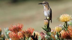 Sugarbird on a protea
