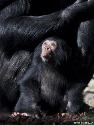 Chimpanzee Ajani looks up