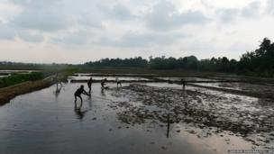 Sri Lankan farmers prepares a paddy field for sowing in Piliyandala on the outskirts of Colombo