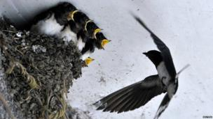 A swallow feeds her babies